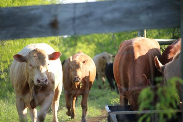 cattle-export