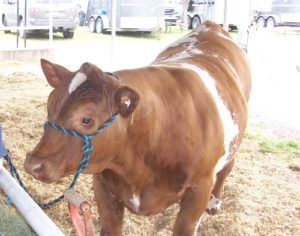 cattle-1
