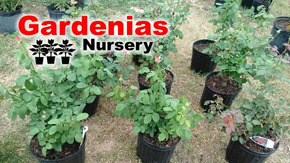gardenias-nursery-zapata-tx-6